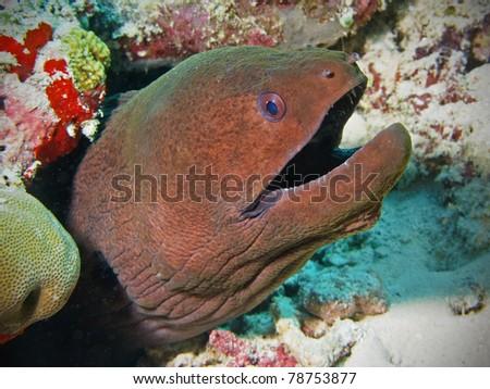 Giant moray eel in Maldives - stock photo