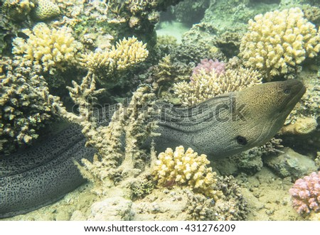 Giant Moray Eel. Marine Life in the Red Sea. Egypt