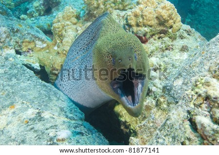 Giant moray eel showing defensive behavior on a coral reef - stock photo