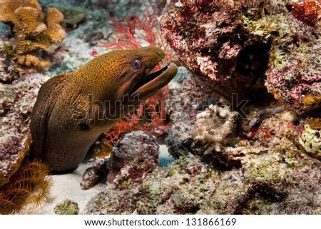 Giant Moray (Gymnothorax javanicus) on a tropical coral reef off the islands of Palau in Micronesia. - stock photo