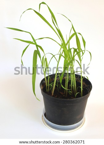 Giant moso bamboo seedlings are growing indoor in flower pot on white background         - stock photo