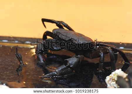 giant freshwater crab - photo #13