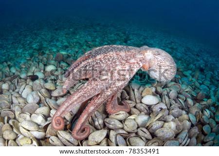 Giant octopus Dofleini in bivalve mollusks graveyard, sea of japan, september 2010, deep - 12 meters, Russia - stock photo