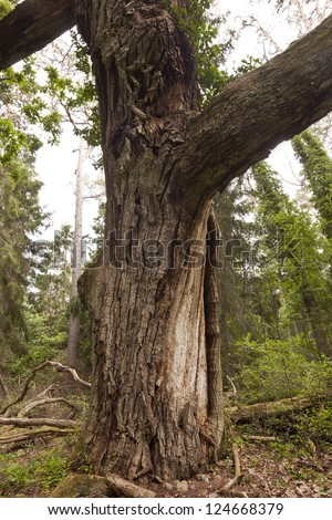 Giant old oak in Trollskogen, Nature reserve in the southern of Sweden, this is an important habitat for many woodliving insects - stock photo