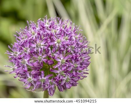 Giant Onion, Allium giganteum flower in bloom in spring in garden - stock photo