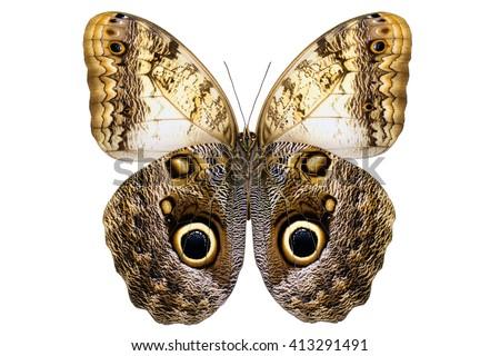 Giant Owl butterfly  (Caligo memnon, male, underside) from Amazon rainforest isolated on white background - stock photo