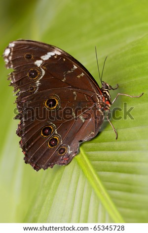 giant owl butterfly in amazonian rainforest - stock photo