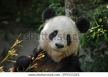 Giant panda (Ailuropoda melanoleuca) eating bamboo. Wild life animal. - stock photo