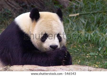 Giant panda at National Zoo in Washington. 1 - stock photo