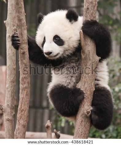 Giant panda bear baby - stock photo