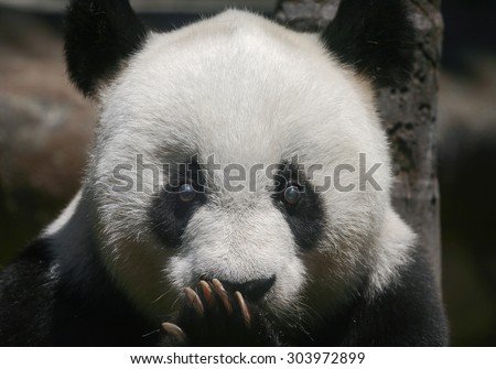 Giant panda bear Basi, 35 years old, the equivalent of over 100 years in human age, is the oldest living giant panda in Chinese mainland - stock photo