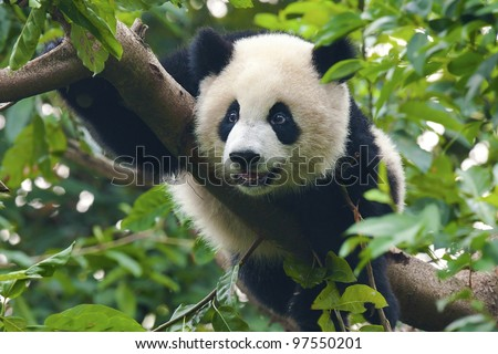 Giant panda bear close-up shot in tree - stock photo