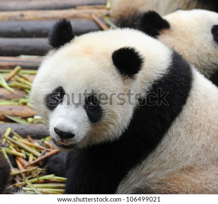 Giant panda bear closeup