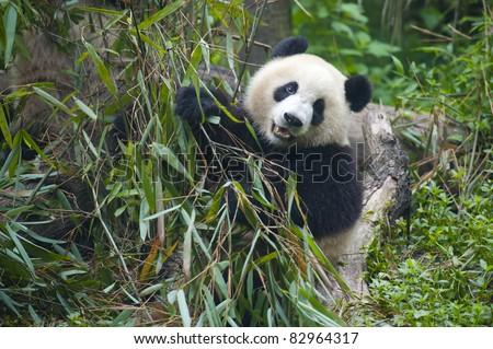 Giant panda bear eating food - stock photo