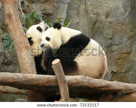giant panda bear hugging and playing together