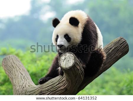 Giant panda bear in a tree - stock photo