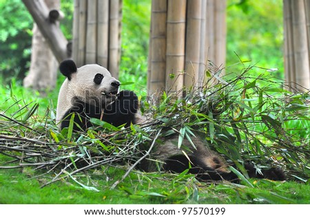 Giant panda bear lying on back and eating bamboo - stock photo