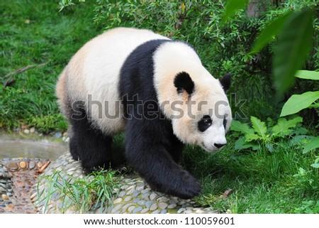 Giant panda bear on the walk - stock photo