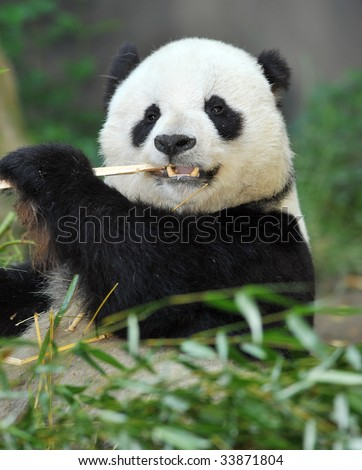 giant panda bear or Ailuropoda melanoleuca male eating bamboo, found in sichuan province, central china, asia. exotic black and white endangered bear - stock photo