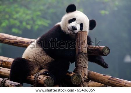 Giant panda bear posing for camera - stock photo