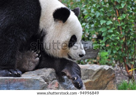 Giant panda bear resting on the stone. Close up. - stock photo