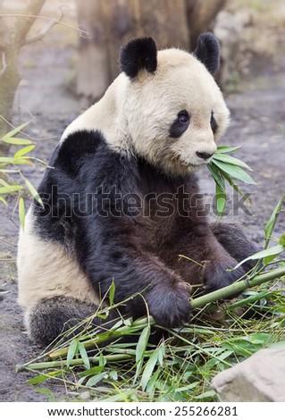 Giant panda bear sitting and eatig bamboo - stock photo