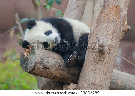Giant panda bear sleeping in tree - stock photo