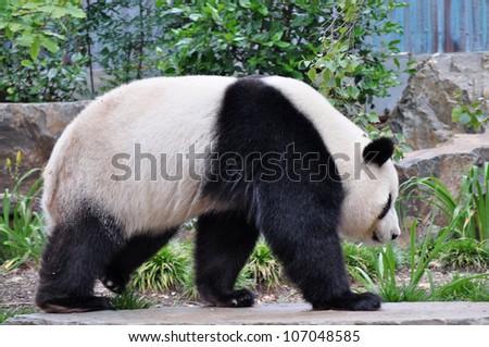 Giant panda bear walking. Close up. Australia, Adelaide zoo - stock photo
