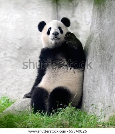 Giant panda bear waving hello - stock photo
