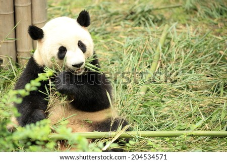 giant panda eat bamboo leaves at chengdu, china  - stock photo