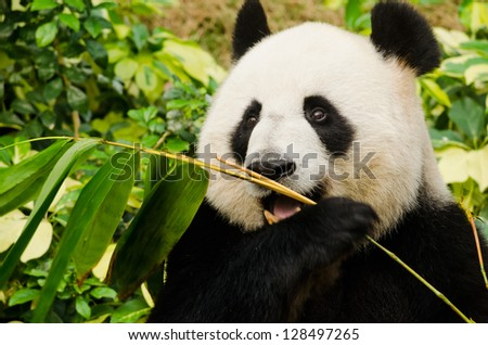 Giant Panda Eating - stock photo