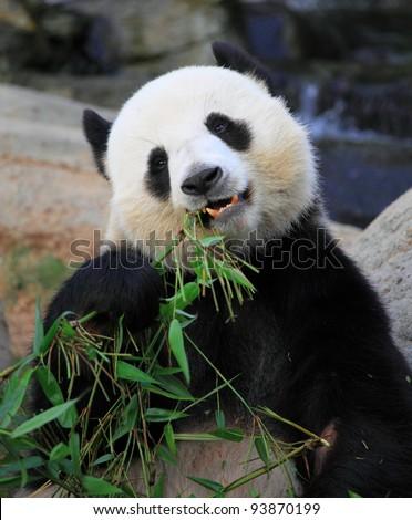 giant panda eating bamboo leaves in Hong Kong Ocean Park - stock photo