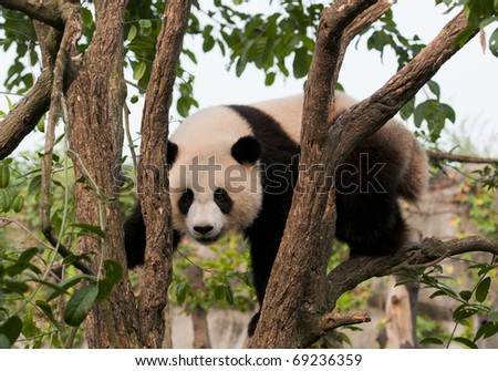 Giant panda in morning sunlight - stock photo