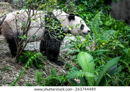 Giant panda in Singapore zoo - stock photo
