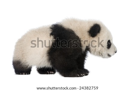Giant Panda  (6 months)  - Ailuropoda melanoleuca in front of a white background - stock photo
