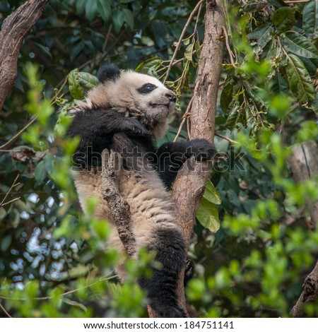 Giant panda wedged between branches in a tree