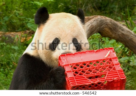 Giant panda with milk crate at National Zoo in Washington 1 - stock photo