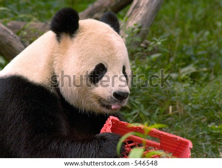 Giant panda with milk crate at National Zoo in Washington 2 - stock photo