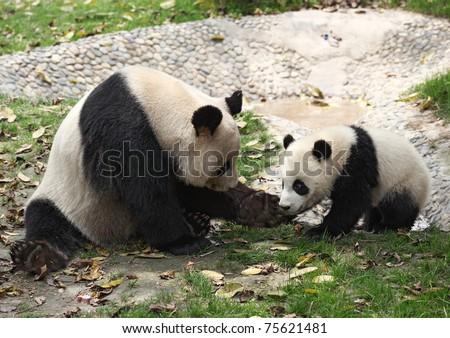 Giant pandas - stock photo