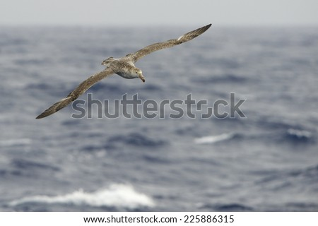 Giant Petrel (Macronectes giganteus) Flying over the Southern Ocean waters Drake Passage, between Tierra de Fuego and the Antarctic Peninsula. - stock photo