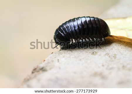 Giant pill millipede (fam. Sphaerotheriida, genus Zoosphaerium) on the island of Nosy Mangabe in Masoala national park, Madagascar