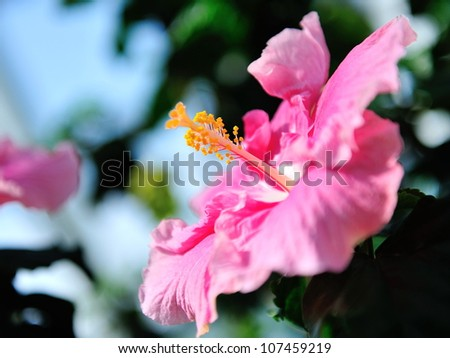 Giant pink hibiscus in the Flower Dome at Gardens by the Bay Singapore - stock photo