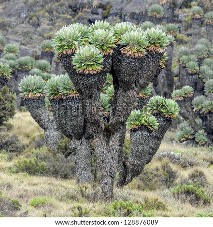 Giant plants (Senecio kilimanjari) near the camp Horombo (3700 m) on the slope of mount Kilimanjaro - Tanzania, Eastern Africa - stock photo