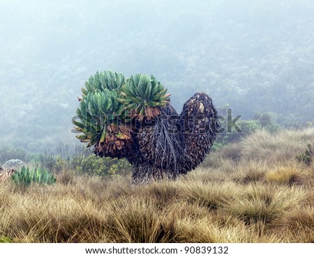 Giant plants (Senecio kilimanjari) near the camp Horombo (3700 m) on the slope of mount Kilimanjaro - Tanzania