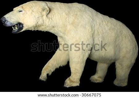 giant polar bear isolated - stock photo