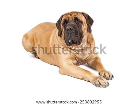 Giant 250 pound Mastiff breed dog laying down against white background - stock photo