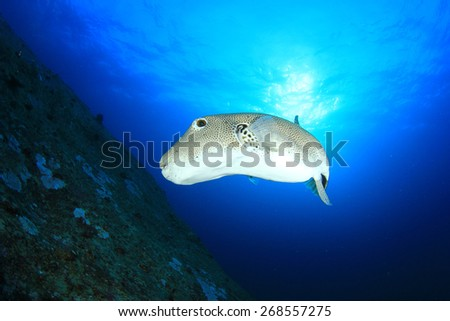Stock photos royalty free images vectors shutterstock for Giant puffer fish
