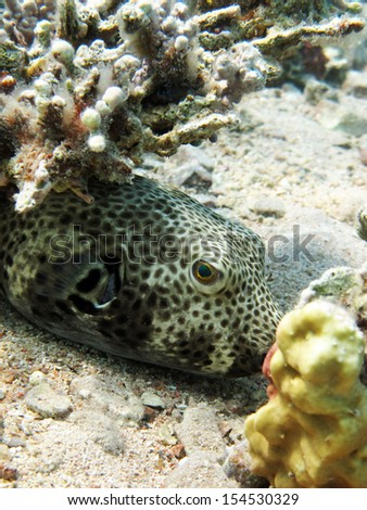 Cute pufferfish stock photos images pictures for Giant puffer fish