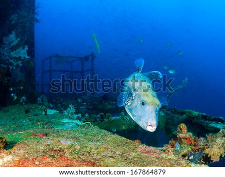 Giant pufferfish on an underwater shipwreck - stock photo