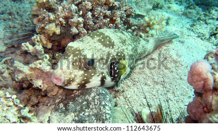 Giant Pufferfish, Red Sea,Egypt